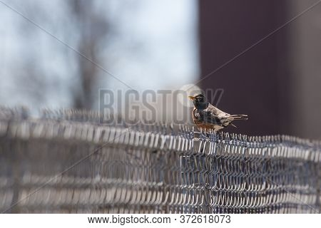 Robin On A Chain Link Fence With Head Framed By Round Lens Flare.