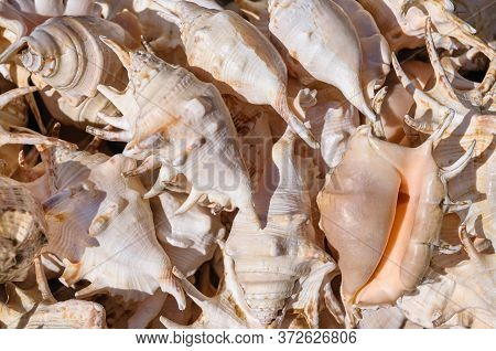 Top View Close Up Of Mollusk. Sea Mollusks Close-up. Background From Exotic Shells. Texture Of Shell