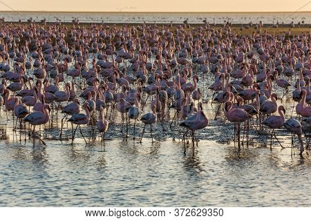 Namibia. Interesting and useful birdwatching. Huge colony of pink flamingos. Gorgeous birds feed in the shallow water of the Swakopmund. Ecological, active, zoological and photo tourism concept