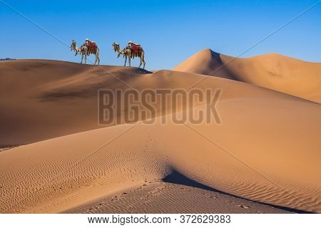 Magnificent two one-humped camel - Dromedar. Magical desert morning. The camel is beautifully decorated for tourists to have fun and take pictures. The concept of active and photo tourism