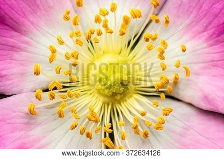 Rosa Canina, Close-up Of A Flower With White-yellow Leaves And Yellow Stamens, Macro Shot
