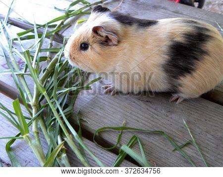 Guinea Pig Eats Green Grass On A Livestock Farm. Brown Guinea Pig