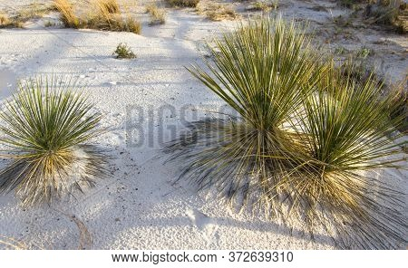 Soap Tree Yucca Growing Wild In The Gypsum Sand Of The White Sands National Monument In New Mexico.