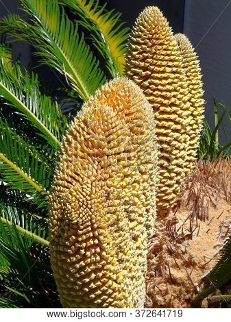This Sago Palm In Central Florida Blooms Every Few Years In May With Multiple Male Cones, Which Are