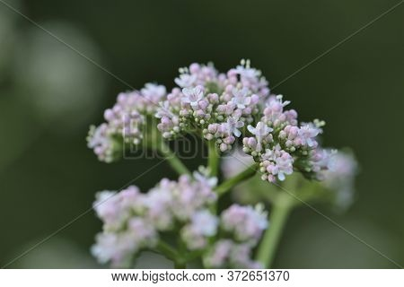 Valerian Plant. Flowers Of Valeriana Officinalis Close-up On A Blurry Green Background.medicinal Pla