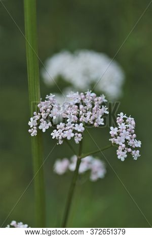 Valerian Plant. Flowers Of Valeriana Officinalis .medicinal Plants. Healing Herbs And Flowers.altern