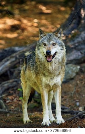The Grey Wolf Or Gray Wolf (canis Lupus) Standing In The Forest.portrait Of A Large Gray Wolf In A T