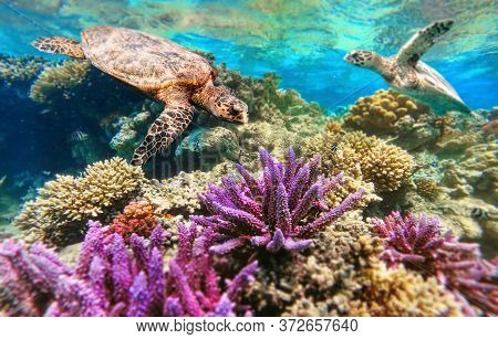 Green Sea Turtle Swimming Over Beautiful And Colored Coral Reef, Marsa Alam, Egypt, Red Sea Wildlife