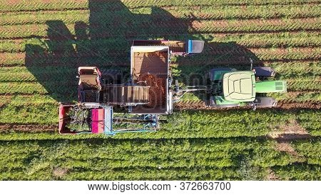 Agricultural Machinery. Carrot Harvesting Using Mechanized Harvesting Equipment. Large Carrot Field.