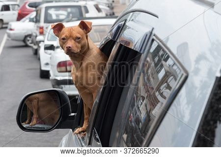 A Small Red Dog Looks Out Of The Car Window. The Dog Looks Directly At The Camera. Companion Dog. Cu