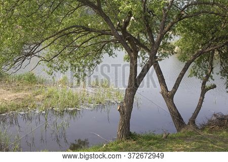 A Fresh Green Trees On The Waterside.