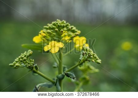 Yellow Rapeseed Close-up Plant Rapeseed On Yellow Background