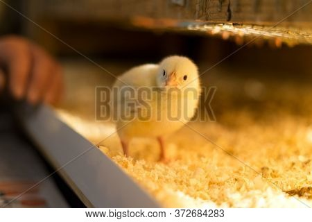 A Lone Broiler Chick Looks At The Camera With Interest. Shallow Depth Of Field.