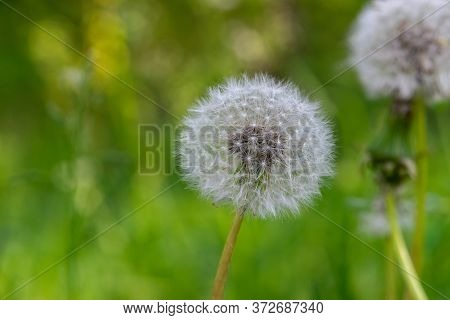 Macro Shot Of Dandelion Blossom Fluffs In Green And Dark Meadow Background
