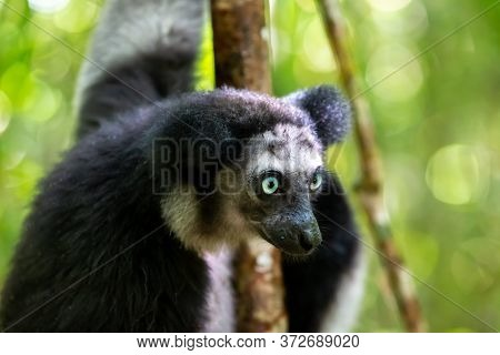 One Indri Lemur On The Tree Watches The Visitors To The Park