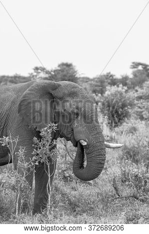 Black And White Portrait Image Of An Elephant Feeding. Taken In Botswana.
