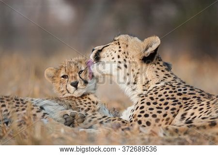Mother And Baby Cheetah Lying Together With The Female Cheetah Licking The Little One's Face In Krug