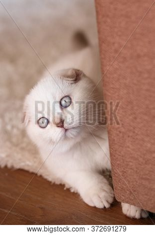 Portrait Of A Playful, Small And Surprised Kitten. A Scottish Kitten Is Playing And Hiding Behind A