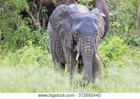 A Young Elephant Feeds At The Side Of A Road In Botswana.