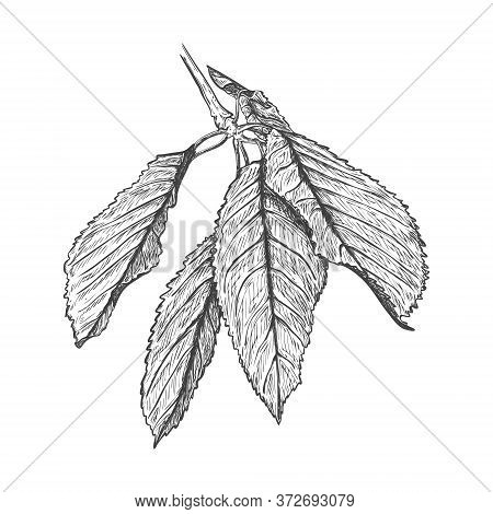 Realistic Sketch Of Cherry Leaves. Several Leaves Of A Cherry Tree On One Branch. Botanical Illustra