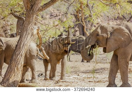A Young Elephant Raises Its Trunk To Feed From The Leaves Of A Tree. Namibia.
