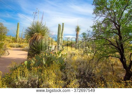 Paved Handicapped Accessible Trail In The Saguaro National Park Winds Through The Desert Of Arizona