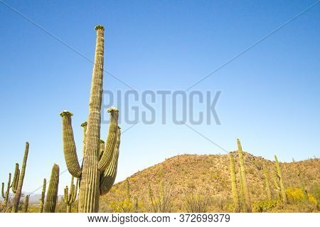 Saguaro Cactus In Bloom. Large Saguaro Cactus With Wildflowers At Saguaro National Park In Tucson Ar