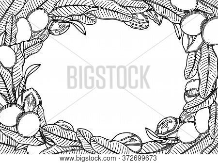 Graphic Shea Nuts And Leaves. Vector Design
