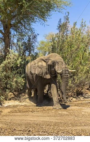 A Bull Elephant Emerges From The Bush In Namibia.