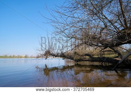 Willow On The Banks Of The River Elbe At Herrenkrug Near Magdeburg In Germany
