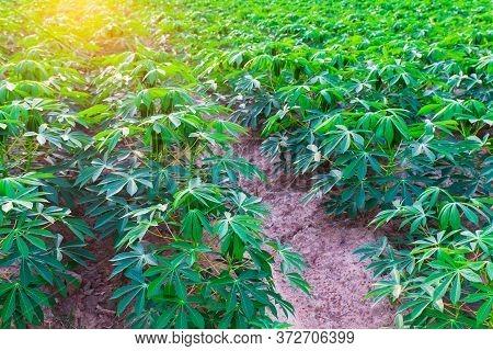 Tapioca Fields On Natural Background, Grow Cassava, Season Of Planting Cassava, Summer Agriculture,