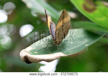 Kallima Inachus, Or Dead Leaf Is The Butterfly Wings Are Shaped Like A Leaf