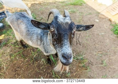 Cute Goat Relaxing In Ranch Farm In Summer Day. Domestic Goats Grazing In Pasture And Chewing, Count