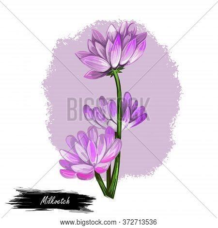 Milkvetch Isolated Digital Art Illustration. Astragalus Herb, Legume Fabaceae. Milkvetch Purple Flow