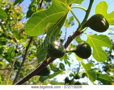 Figs On A Branch. Green Branches Of A Fig Tree. Growing Fruits On A Fruit Tree. Blue Sky In The Back