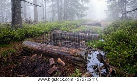 Remains Of Wooden Walking Path Pavement In The Forest During Foggy Weather, Jeseniky, Czech Republic