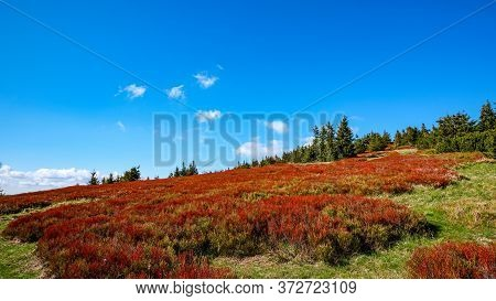 Colorful Red Blueberry Bushes, Jeseniky Mountains, Czech Republic.