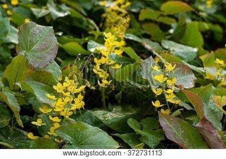 Close-up Of Yellow Inflorescences Of Epimedium Or Barrenwort In A Spring Garden