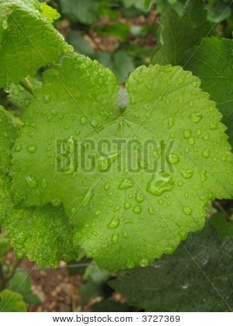 Dew-Covered Leaf