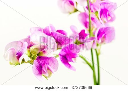 Beautiful Vicia Flower Isolated On White Background