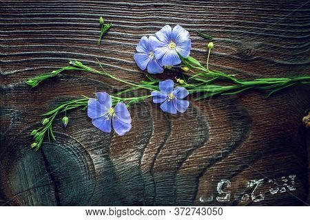 Beautiful Delicate Flax Flower On A Beautiful Wooden Decorative Board. Plant Of Flax From Blue Flowe