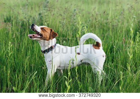 Happy Puppy Jack Russell Terrier In The Summer Meadow.  Laughing Dog. Dark Green Background.
