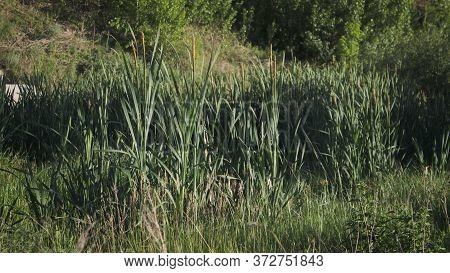 Rushes Background. Green Background. Nature Background. Rush.