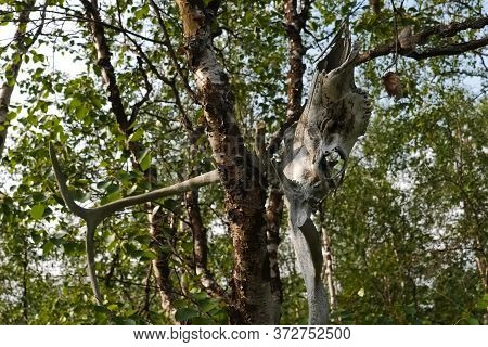 The Skull Of A Reindeer On A Tree. Traditional Beliefs Of The Peoples Of The North. The Customs Of T