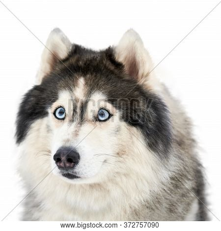 Funny Husky Face With Big Surprised Eyes, Isolated. Cute Shocked Look. Stunned Mad Siberian Husky. C