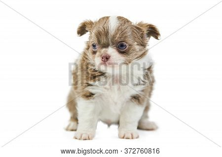 Chihuahua Puppies, Isolated. Little Cute Dog On White Background. Dog Shelter Puppy. Small Short Hai