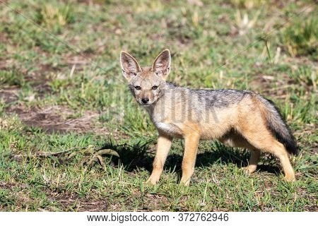 Black-backed jackal pup, canis mesomelas,, side view. Masai Mara, Kenya