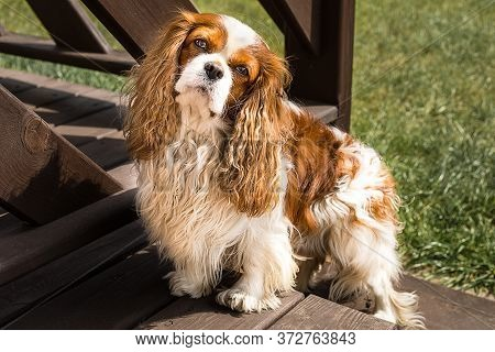 Funny Cavalier King Charles Spaniel On The Grass Near Home.