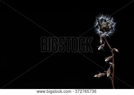 Twig With Fluffs And Half Blooming Flower Located On Dark Background