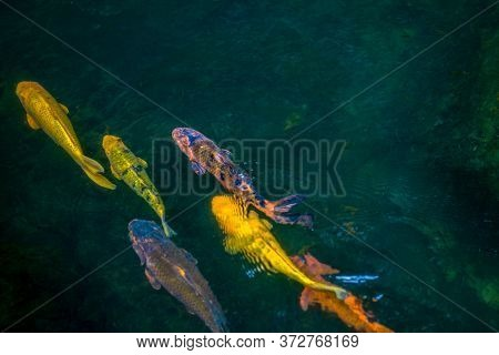 Colorful Carp Fish Or Koi Fish In Japanese (cyprinus Carpio) Swimming On The Surface Of The Natural
